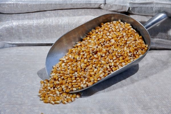 Grain maize whole